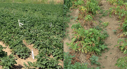 Attacco di peronospora sulle piante di patata:a sinistra tesi Ilsa, a destra tesi testimone