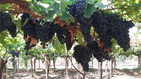Vite - uva nera