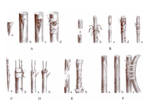 Ci sono diversi tipi di innesto: in linea generale a gemma ed a marza