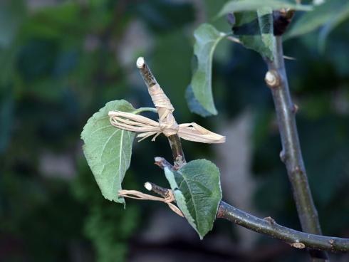 Innesto a gemma, un esempio d'innesto per le piante da frutto