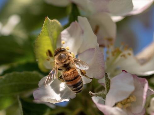 Il miglioramento genetico tradizionale, presenta all'interno la sostituzione dell'impollinazione naturale