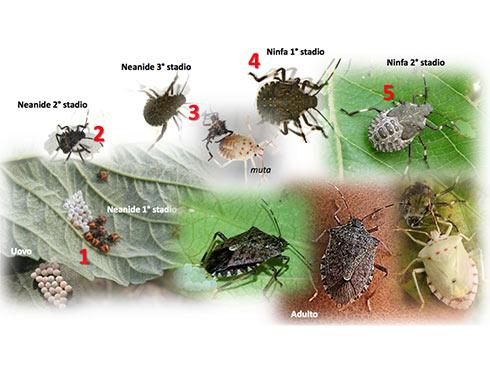 Cimice asiatica o Halyomorpha halys, due cicli biologici all'anno
