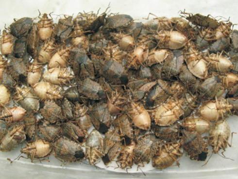 Cimice asiatica o Halyomorpha halys un insetto in crescita in Italia