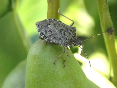 Adulto di Cimice asiatica o Halyomorpha halys