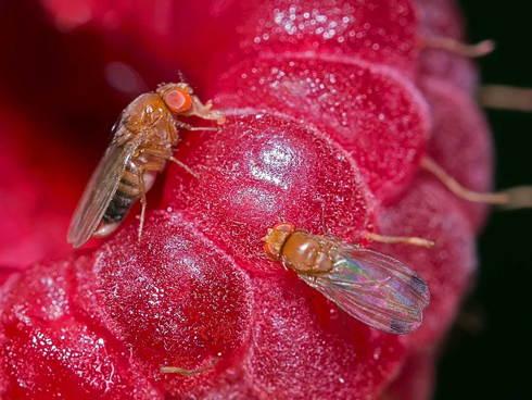 Adulti di Moscerino dei piccoli frutti o Drosophila suzukii