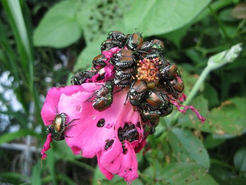 Popillia Japonica o Coleottero Giapponese, mentre stanno cibandosi di un fiore