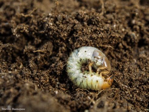 Larva di Popillia Japonica o Coleottero Giapponese nel terreno
