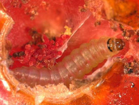 Larva di Tuta absoluta o Tignola del pomodoro