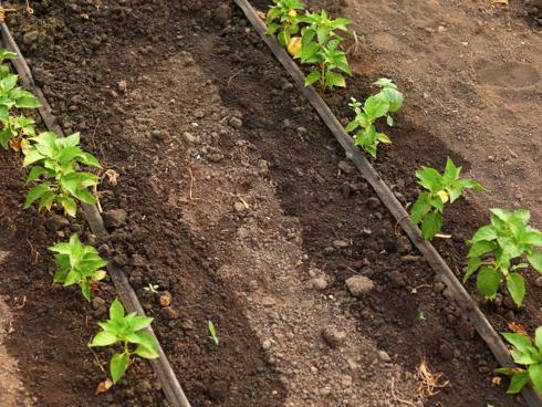Irrigazione localizzata e di precisione su pianta orticola