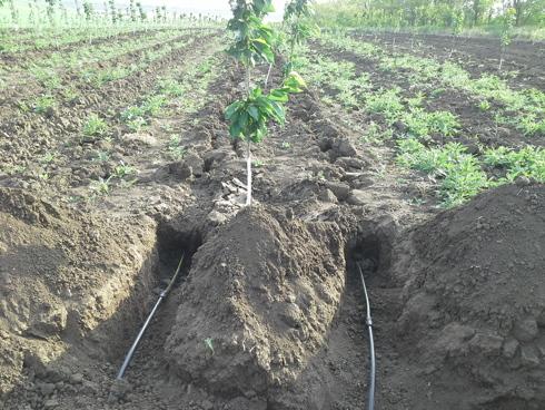 Frutteto con irrigazione a goccia sotterranea del sistema Rootguard®