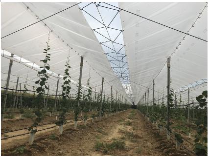 Impianto di actinidia in allevamento sotto copertura con telo plastico