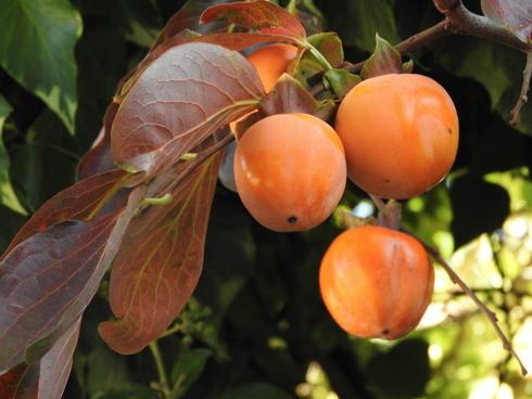 Frutti di kaki maturi pronti per essere raccolti