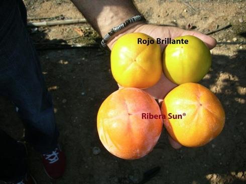Frutto di kaki varietà Ribera Sun a confronto con Rojo Brillante
