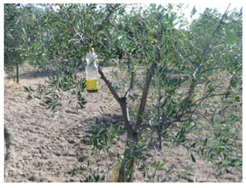 Posizionamento della trappola sull'olivo
