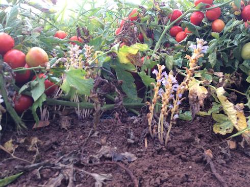 Pomodoro colpito da orobanche ramosa