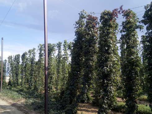 Impianto di luppolo coltivato in Italia