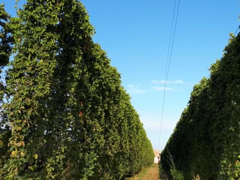 Un esempio di un impianto di luppolo coltivato in Romagna