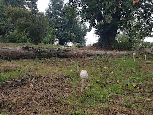 Fungo e albero di castagno