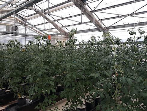 Prova di coltivazione del pomodoro ciliegio senza suolo