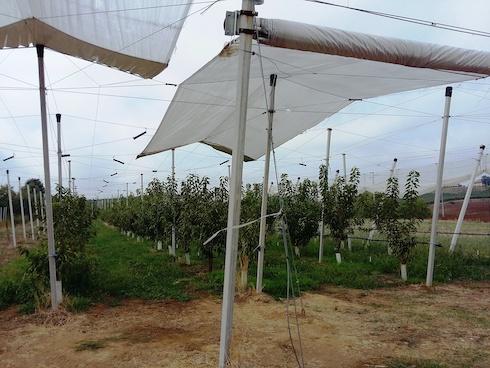 Reti e teli per la copertura dei ciliegi