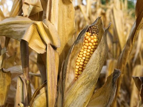 Pannocchia Mais, coltura erbacea estensiva, in campo di mais