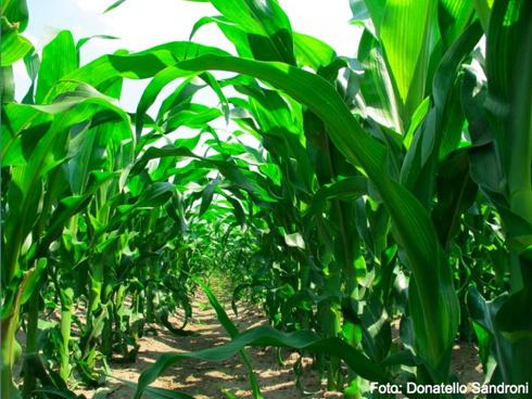 Campo di mais nelle prime fasi di sviluppo delle piante