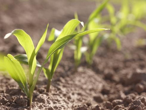Alcune piantine di mais nella prima fase di germogliazione dal terreno