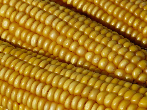 Pannocchie di mais pronte per essere sgranate e lavorate
