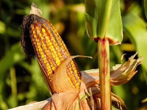 Pannocchia di mais in sviluppo su pianta