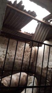 Danni al tetto di una porcilaia