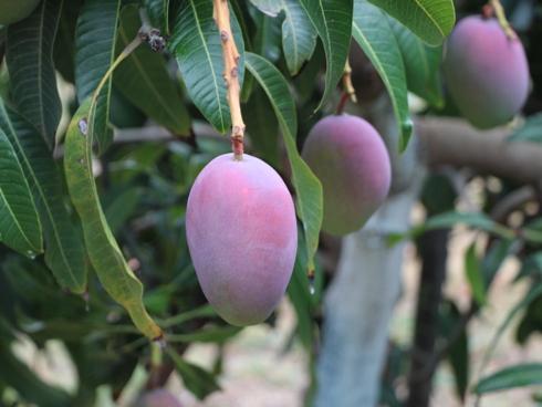 Frutti del mango nella fase del cambio colore in areale produttivo siciliano