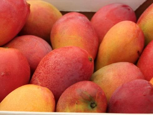 Frutti di mango prodotti in Sicilia