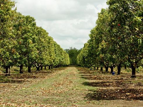 La Sicilia si profuma di mango - AgroNotizie - Vivaismo e sementi