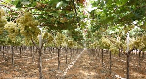 Uva da tavola il resoconto della tornata siciliana del 17 congresso nazionale agronotizie - Potatura uva da tavola ...