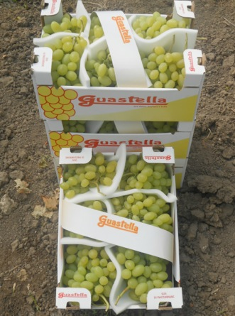 Uve da tavola precoci una grande opportunit per i viticoltori siciliani agronotizie - Uva da tavola precoce ...
