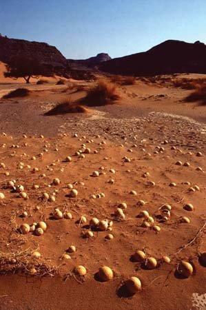 Campo di coloquintide nel deserto del Sahara