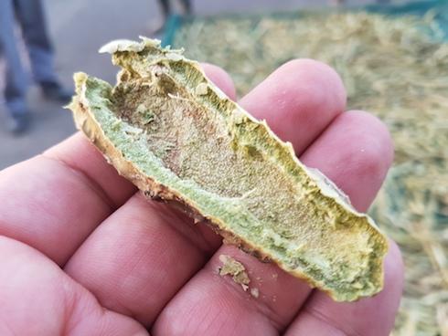 Un chip di cladodo all'uscita dall'essiccatoio solare. Si osserva il colore verde della corteccia, indicatore che la stessa contiene ancora clorofilla