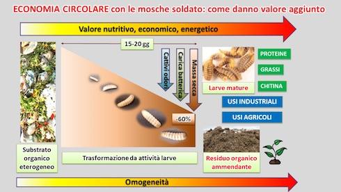 Il ciclo produttivo della Hermetia illucens L.