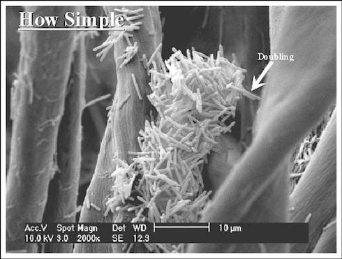 Colonia diClostridium acetobutylicumin crescita su un substrato di cellulosa