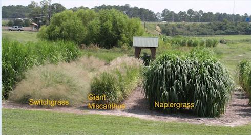 Comparazione dell'erba elefantina (destra) con miscanto (centro) e panico vergato (sinistra)