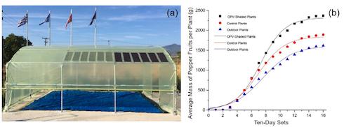 Crescita dei peperoni (grammi per pianta) in una serra ombreggiata con pannelli Opv(curva nera), in una serra convenzionale di film di Pe(curva rossa) e all'aperto (curva blu)