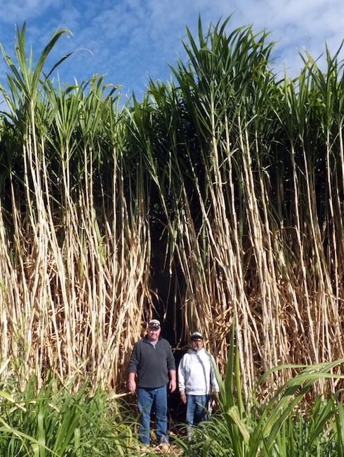 Erba elefantina di oltre novantagiorni, per utilizzo come biomassa cellulosica industriale