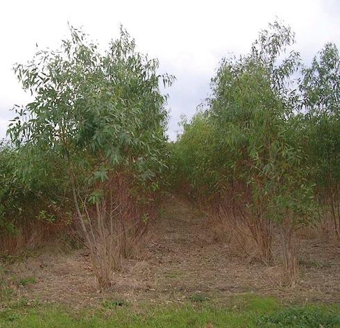 Impianto di Srf di eucalipto a ciclo biennale e densità di circa 5mila piante/ettaro