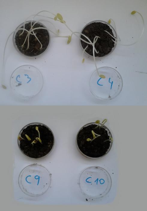 L'influenza del fattore di diluizione del digestato liquido sulla germinazione di semi di cetriolo. I campioni C3 e C4 hanno germinato con una soluzione al 20% di digestato. I campioni C9-C10 con digestato liquido senza diluizione. In questo test le soluzioni con 20%-30% di digestato hanno dato i migliori risultati