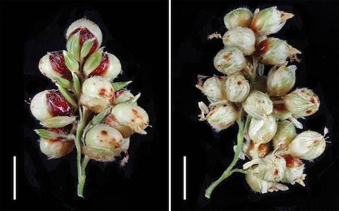 La manipolazione dei geni MSD1 o MSD2 raddoppia la produzione di infiorescenze e di granella di sorgo