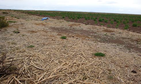 Residui colturali di quinoa lasciati sul campo ad Oruro (Bolivia)