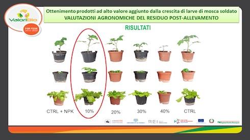 Il residuo rimanente dopo la crescita delle larve di mosca soldato, mescolato al 10% con del terriccio, è un ottimo fertilizzante organico