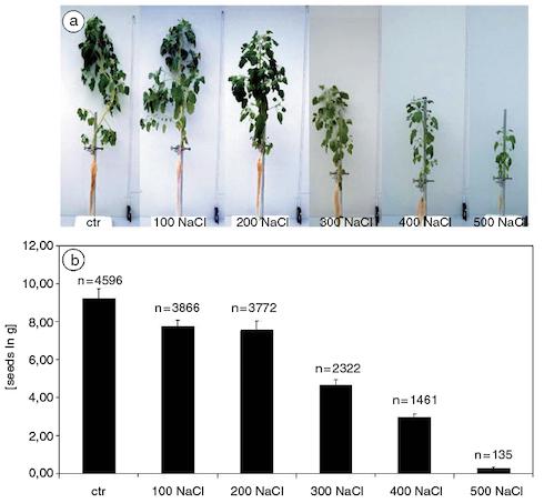 Sviluppo e produzione di semi della pianta di quinoa, in funzione della salinità