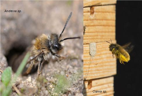 Un esemplare del genere Andrena che esce dal suo nido nel terreno (a sinistra) e un esemplare di Osmia che va verso il suo nido nel legno (a destra). Immagini non in scala