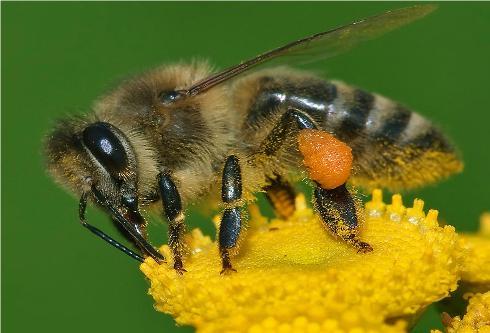 Un'ape melliferaoperaia, si possono osservare le masserelle di polline sulle zampe